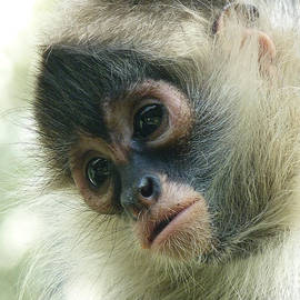 Margaret Saheed - Pensive Young Spider Monkey