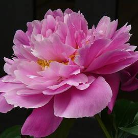 Lingfai Leung - Peony Blossoms