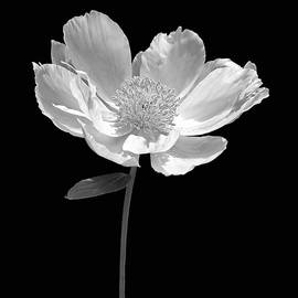 Jennie Marie Schell - Peony Flower Portrait Black and White