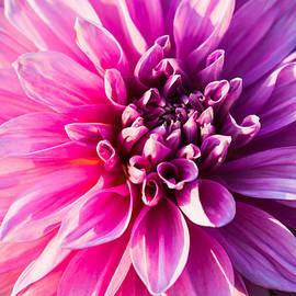 Alexander Senin - Peony In Bloom