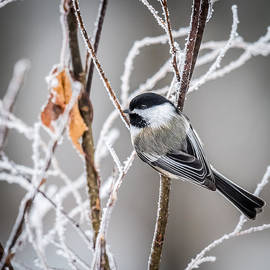 Paul Freidlund - Perched Black Capped Chickadee