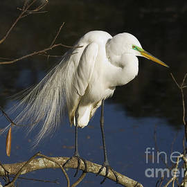 Michelle Tinger - Perched Egret