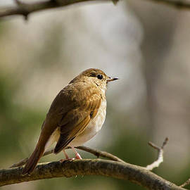 Christina Rollo - Perching Birds - Hermit Thrush