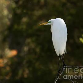 David Cutts - Perching Heron