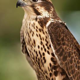 David Millenheft - Peregrine Falcon Portrait