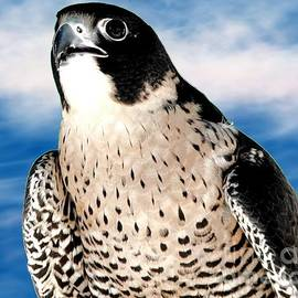 Rose Santuci-Sofranko - Peregrine Falcon
