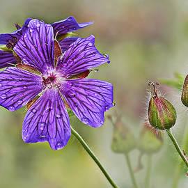 Marcia Colelli - Perennial Geranium