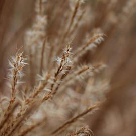 Arlene Carmel - Perennial Grass