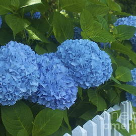 Amazing Jules - Perfect Blue Hydrangeas