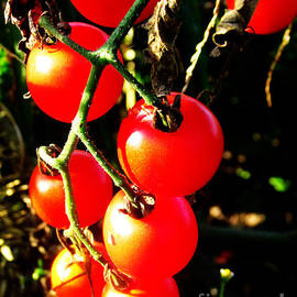 Tina M Wenger - Perfect Round Red Tomatoes