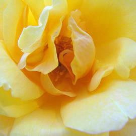 Brooks Garten Hauschild - The Perfect Yellow Rose