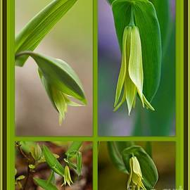 Mother Nature - Perfoliate Bellwort Wildflower - Uvularia perfoliata