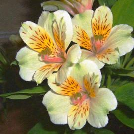 Dean Wittle - Peruvian Lily Alstroemeria