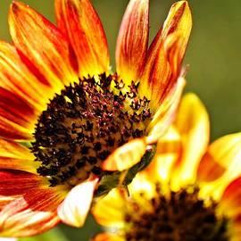 Katherine White - Petite Sunflower