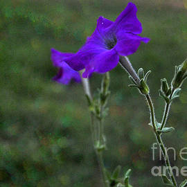 ARTography by Pamela Smale Williams - Purple Petunia Botanical Study