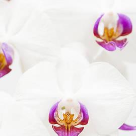 Anne Gilbert - Phalaenopsis