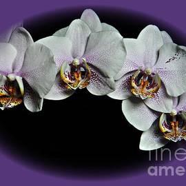 Chalet Roome-Rigdon - Phalaenopsis