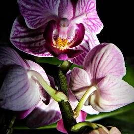 Chalet Roome-Rigdon - Phalaenopsis Orchid Group
