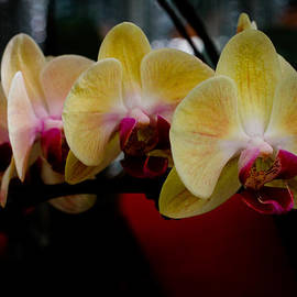 Donald Chen - Phalaenopsis Yellow Orchid