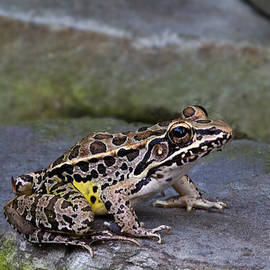 Jemmy Archer - Pickerel Frog