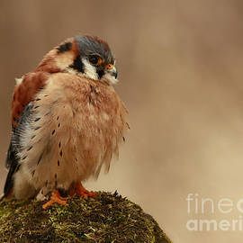 Inspired Nature Photography By Shelley Myke - Picture Perfect American Kestrel