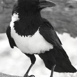 Bruce J Robinson - Pied Crow