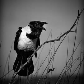 David Van der Want - Pied crow  Corvus albus monochrome