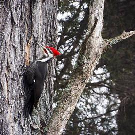 Heather Applegate - Pileated Woodpecker