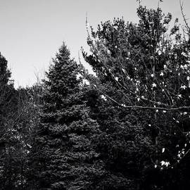 Frank J Casella - Pine And Leaves - Monochrome