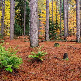 Rachel Cohen - Pine Forest in Autumn