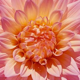Jennie Marie Schell - Pink and Orange Dahlia Flower Macro