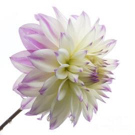 Inge Riis McDonald - Pink and white Dahlia