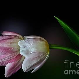 Shirley Mangini - Pink and White Tulips
