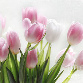 Sylvia Cook - Pink And White Tulips