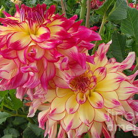 Stephanie Brower - Pink and Yellow Dahlia