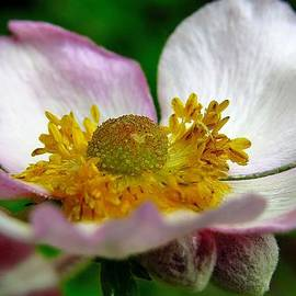 J L Kempster - Pink Anemone