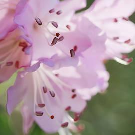 Jennie Marie Schell - Pink Azalea Flowers in the Morning Light