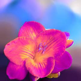 Bruce Nutting - Pink Azaleas