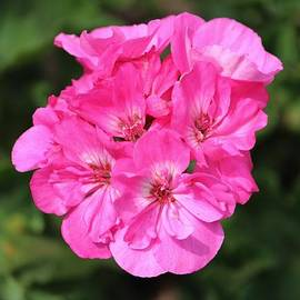 Cynthia Guinn - Pink Blossoms