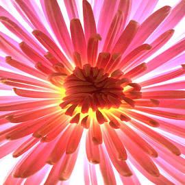 Sherry Allen - Pink Burst