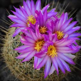 Saija  Lehtonen - Pink Cactus Flowers