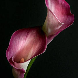 Hugo Bussen - Pink Calla lilies on black background