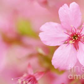 Oscar Gutierrez - Pink Cherry Blossom