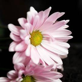 Milena Ilieva - Pink Chrysanthemum