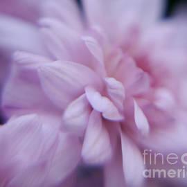 Irina Wardas - Pink Chrysanthemums