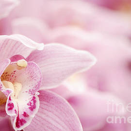 Oscar Gutierrez - Pink Cymbidium Orchid