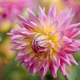 Carolyn Eaton - Pink Dahlia Flower