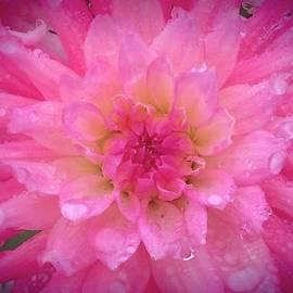Wendy Yee - Pink Dahlia In The Rain