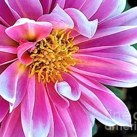 Janice Drew - Pink Dahlia