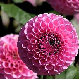 Kirt Tisdale - Pink Dahlia